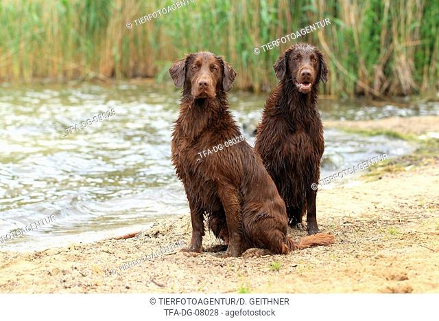 2 Flat Coated Retriever