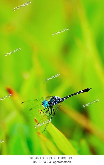 Thermoregulatory behaviour in dragonfly. Micrathyria sp. , Libellulidae, Odonata