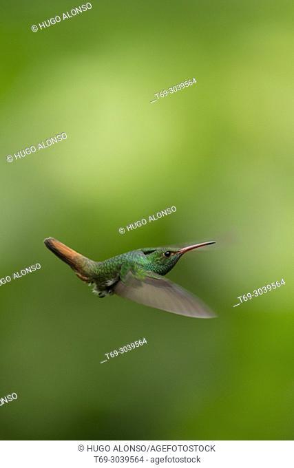 Green violet-ear in flight, hummingbird, Costa Rica