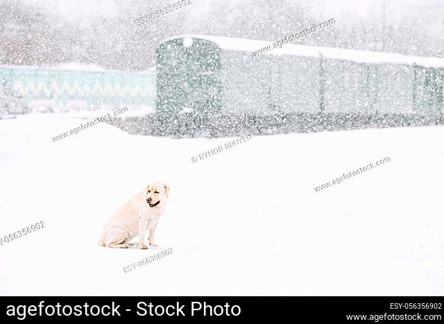 Lonely Sad White Labrador Dog Sitting In Snow During Snowy Winter Day. Homeless Pet