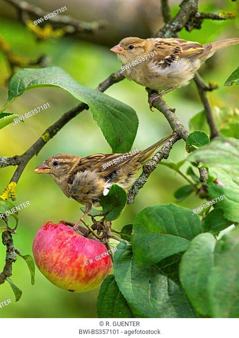 house sparrow (Passer domesticus), female sparrows feeding on an apple in an apple tree , Germany