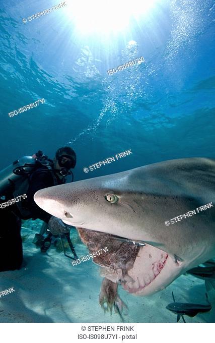 Diver feeds Lemon Shark