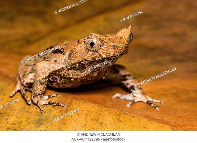 Malaysian Leaf frog (Megophrys aceras)