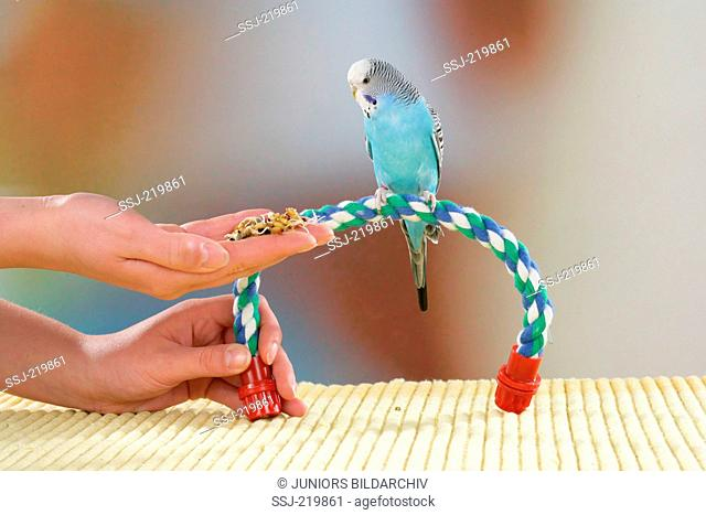 Budgerigar, Budgie (Melopsittacus undulatus). Blue bird fed by hand. Germany