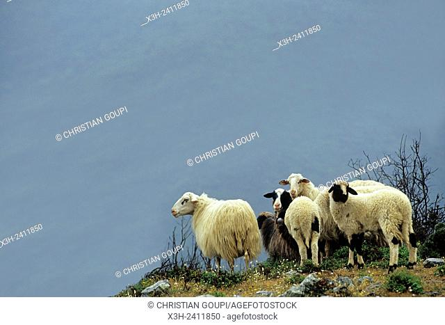 flock of sheep, near Epidaurus, Argolid, Peloponnese, Greece, Southern Europe