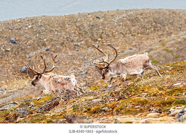 A pair of Svalbard reindeer Rangifer tarandus platyrhynchus a small subspecies of Rangifer tarandus, travel along the coast on Svalbard, Norway, in summertime
