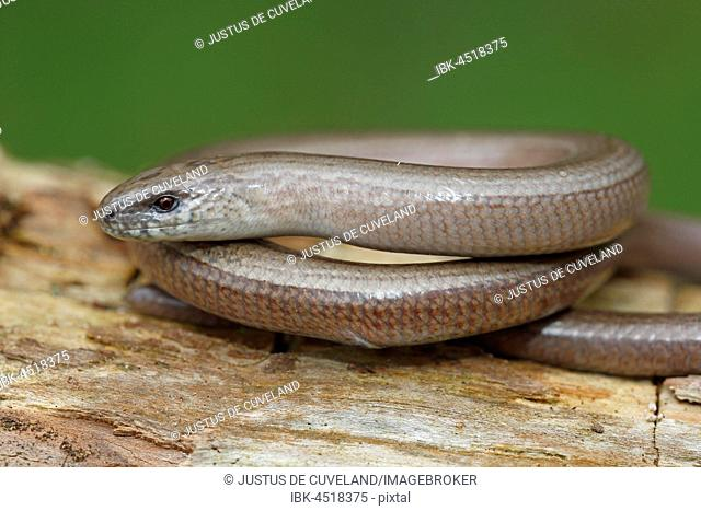 Slow worm (anguis fragilis) curled up on tree trunk, Schleswig-Holstein, Germany