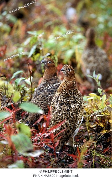Willow Ptarmigan Lagopus lagopus - Denali National Park, Alaska, United States of America, USA, North America