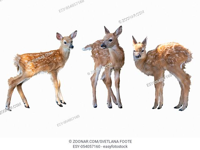 whitetail deer fawns watercolor painting isolated on white background