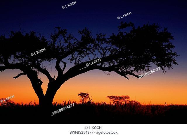 evening mood in savannah, Namibia, Naukluft Nationalpark, Namibrand