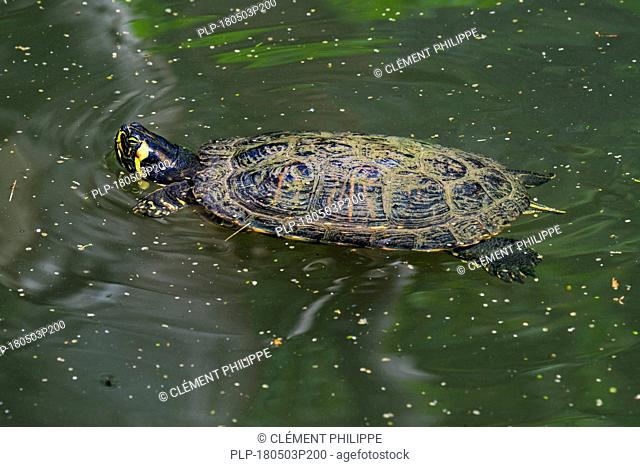 Yellow-bellied slider (Trachemys scripta scripta), land and water turtle native to the southeastern United States swimming in pond