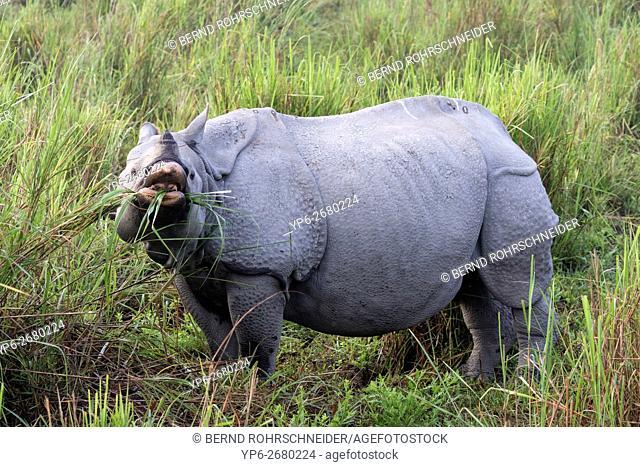 Indian rhinoceros (Rhinoceros unicornis) feeding on grass, threatened species, Kaziranga National Park, Assam, India
