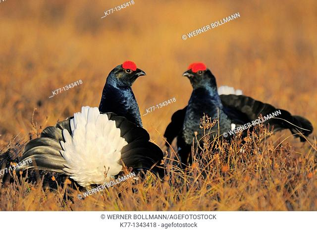 Black Grouse (Tetrao tetrix), two males, Sweden