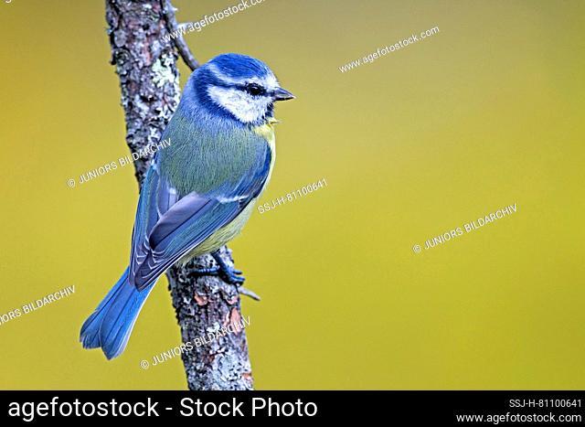 Blue Tit (Cyanistes caeruleus, Parus caeruleus). Adult standing on a twig. Sweden