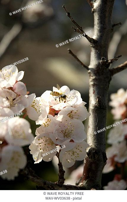 Bee on apricot blossoms, Okanagan Centre, BC Canada