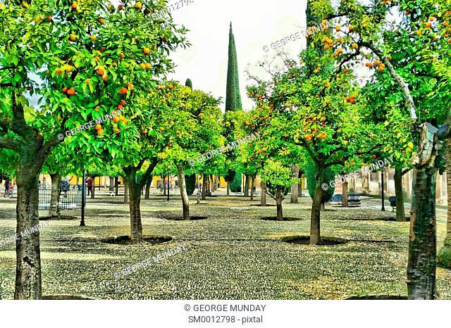 The Orange Grove where the tress are designed to echo the Columns in the Prayer Hall,. 10th Century Mezquita Mosque, Cordoba City
