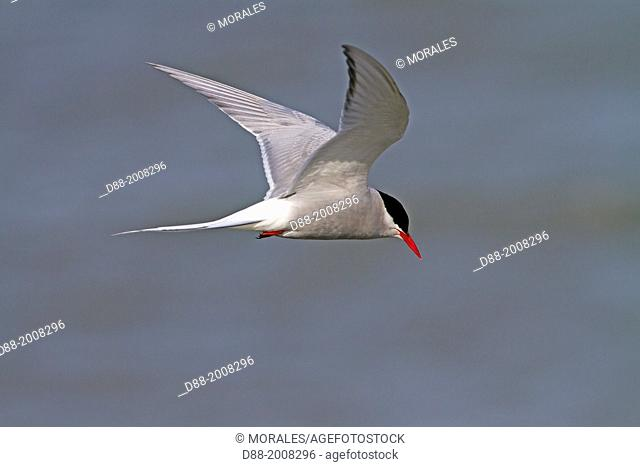 Norway, Svalbard, Spitsbergen Island, Arctic Tern (Sterna paradisaea)