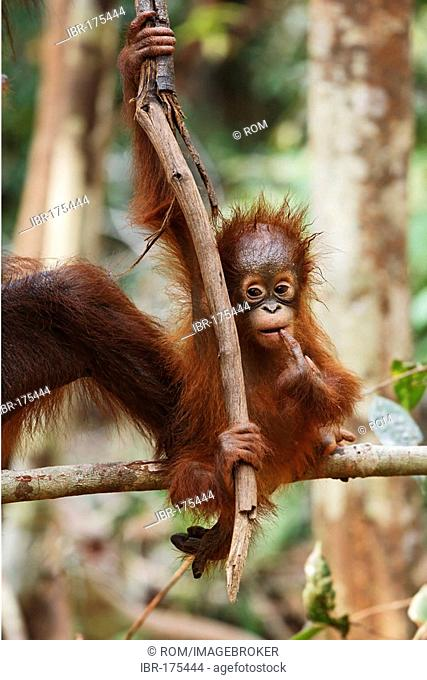Orang-utan (Pongo pygmaeus) in Tanjung Puting national park, Central-Kalimantan, Borneo, Indonesia