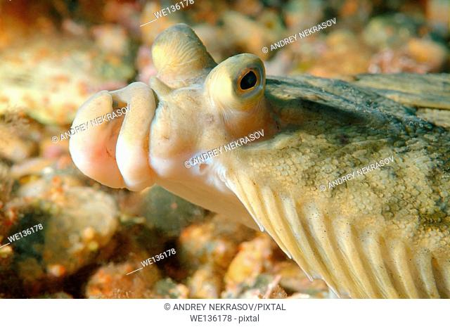 Japanese flounder (Pleuronectes japonicus) Japan sea, Far East, Primorsky Krai, Russian Federation