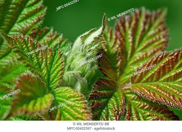 Shrubby Blackberry (Rubus fruticosus) leaves, Netherlands