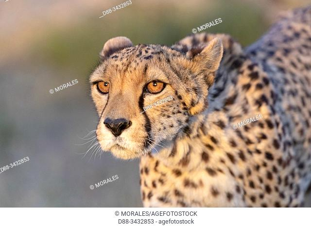 Cheetah (Acinonyx jubatus), occurs in Africa, detail of the head, captive