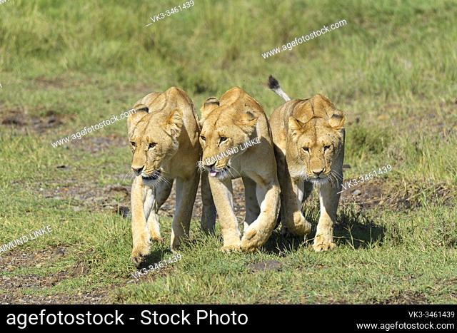 African lion, Panthera Leo, three females, Masai Mara National Reserve, Kenya, Africa