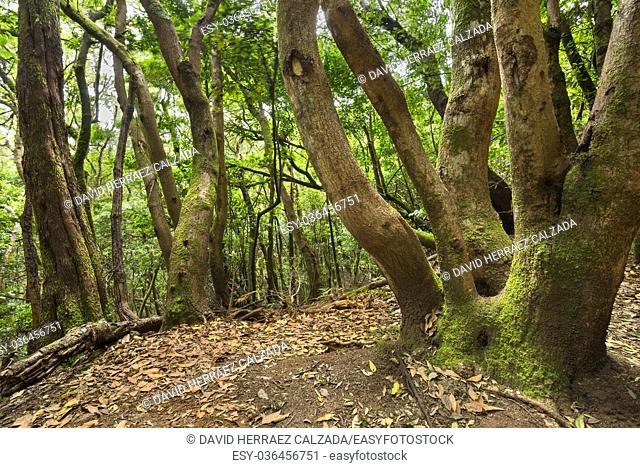 Tropical forest in Anaga, Tenerife, Canary island, Spain