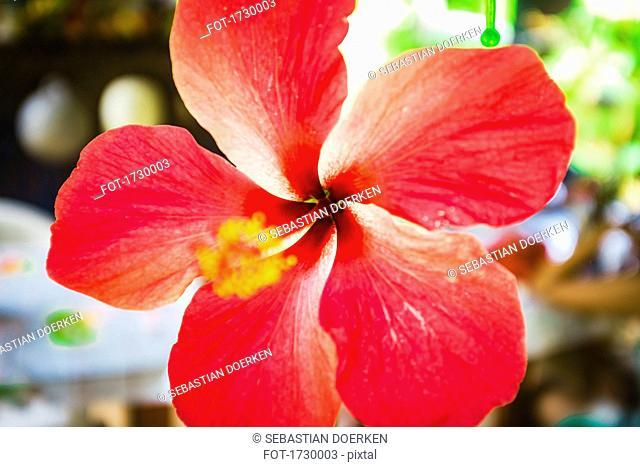 Close-up of hibiscus