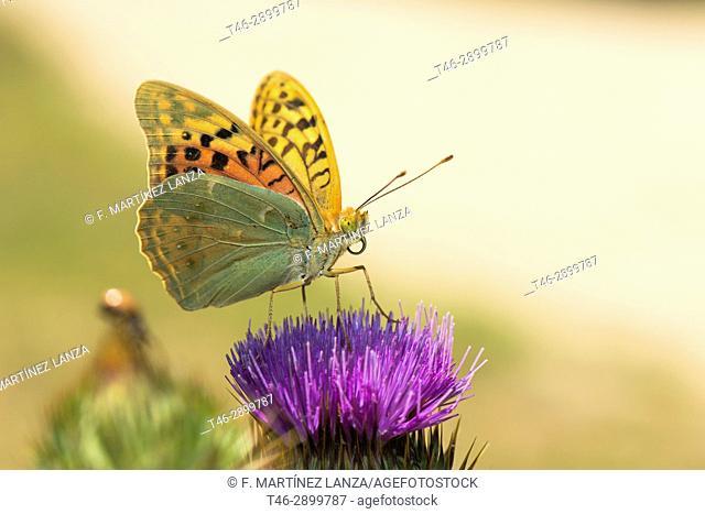 Mariposa Colias edusa (colias edusa). Photographed in Casillas Avila