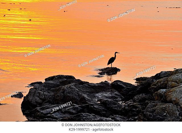 Shoreline rocks with Great Blue Heron (Ardea herodias), at sunrise,Clover Point, Victoria, British Columbia, Canada