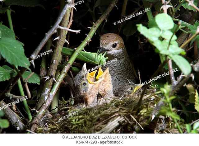 Red-backed Shrike (Lanius collurio), female with chicks. Picos de Europa, Cantabria, Spain