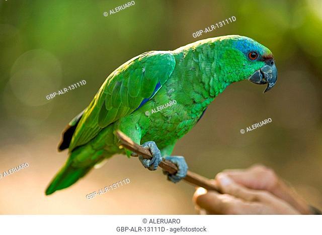 Parrot, Animal, Manaus, Amazônia, Amazonas, Brazil