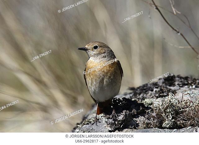 Starfinch (Phoenicurur phoenicurus), Smaland, Sweden