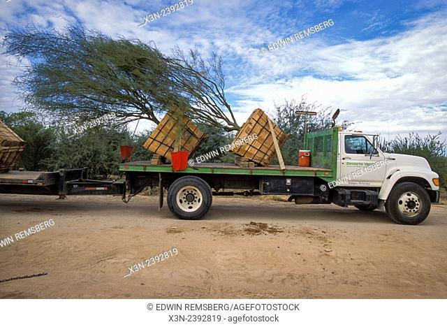 Process of removing and repotting trees in Arizona