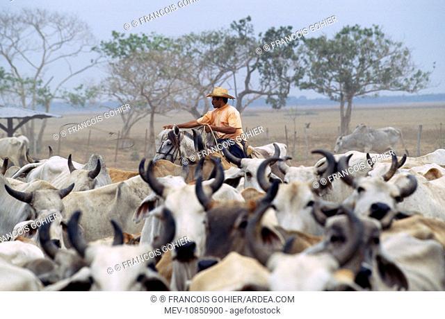 Venezuela - cattle round up. hato El Cedral, Llanos