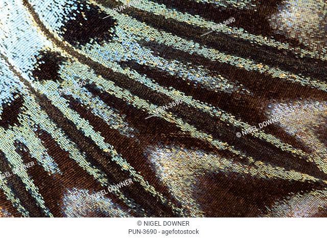Underside markings of clipper butterfly wing Parthenos sylvia