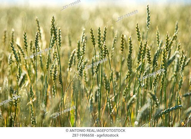 Wheat. Almansa, Albacete province, Castilla-La Mancha, Spain