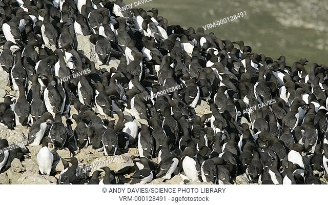 Guillemot colony (Uria aalge) on rocky cliffs. The guillemot spends most of its life at sea, coming ashore on rocky cliffs only to breed