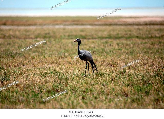 Nature, Wild, Bird, Namibia, Tasha, Grus grus, Common crane