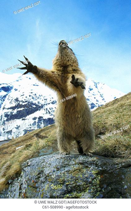 Marmota marmota, Saeugetiere. Austria