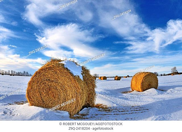 A horozontal winter landscape of round bales of straw left in a farm field for storage in rural Alberta. Canada