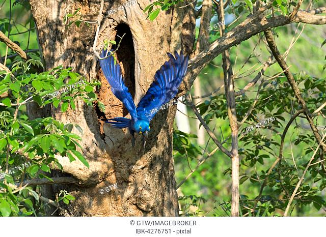 Hyacinth Macaw (Anodorhynchus hyacinthinus) flying out of its tree nest, Pantanal, Mato Grosso, Brazil