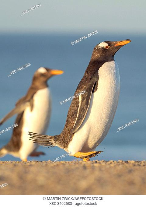 Walking to the colony. Gentoo Penguin (Pygoscelis papua) in the Falkland Islands. South America, Falkland, January