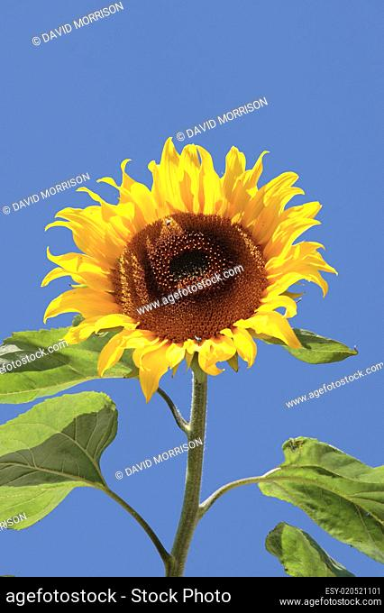 tall ripe lone sunflower