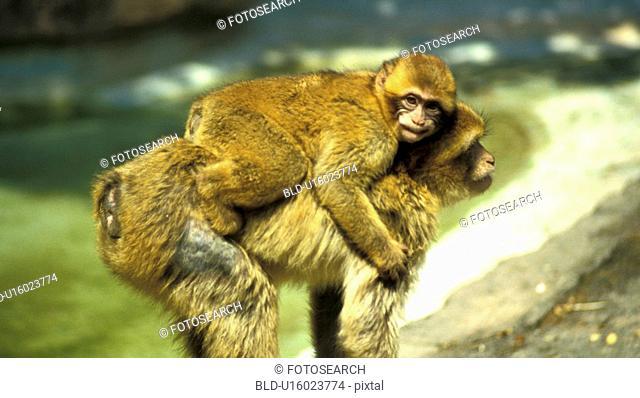 animals, CLOSE, apes, ape, aichner