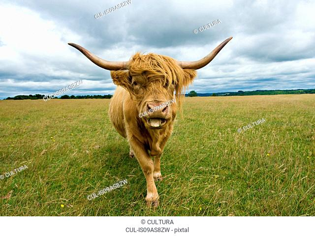 Front view of Highland Cow (Bos Taurus) looking at camera, sticking tongue out