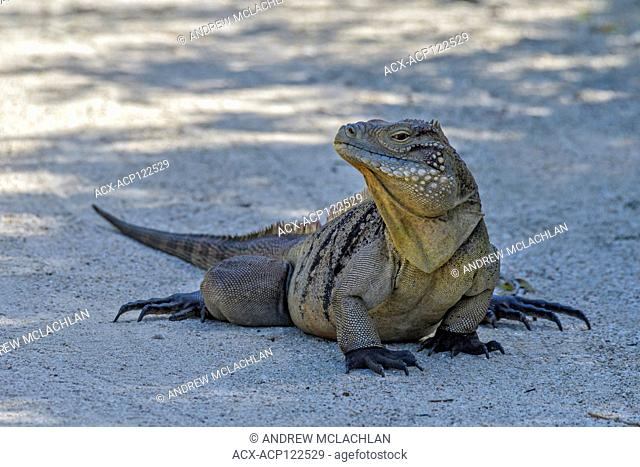 Critically endangered Cayman Brac Iguana (Cyclura nubila caymanensis) photographed in the wild on Cayman Brac, Cayman Islands, British West Indies