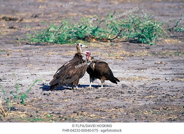 Hooded Vulture's Necrosyrtes monachus Mutual preening / Botswana