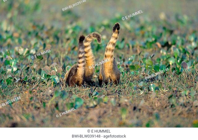 coatimundi, common coati, brown-nosed coati Nasua nasua, three animals searching food, head in the ground, tails upright