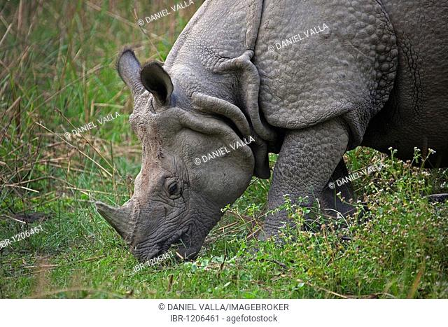 One-horned Rhinoceros (Rhinoceros unicornis) grazing in Chitwan National Park, Nepal, South Asia